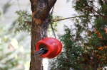 chickadee mango fly through feeder